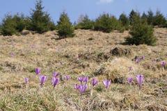 Pięknego purpurowego krokusa makro- zbliżenie Zdjęcie Stock