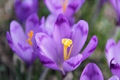 Pięknego purpurowego krokusa makro- zbliżenie Fotografia Stock