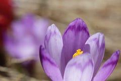 Pięknego purpurowego krokusa makro- zbliżenie Obrazy Stock