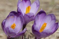 Pięknego purpurowego krokusa makro- zbliżenie Fotografia Royalty Free