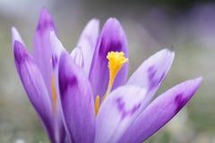 Pięknego purpurowego krokusa makro- zbliżenie Obraz Stock