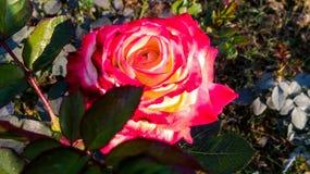 Pięknego róża kwiatu różni cienie obrazy royalty free