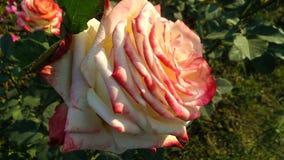 Pięknego róża kwiatu różni cienie zdjęcie stock