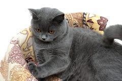Pięknego szarego kota trakenu Szkocki Prosty zbliżenie Obraz Royalty Free