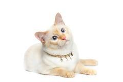 Pięknego trakenu Mekong Bobtail kot Odizolowywał Białego tło Fotografia Royalty Free