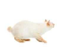 Pięknego trakenu Mekong Bobtail kot Odizolowywał Białego tło Obraz Royalty Free