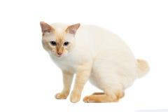 Pięknego trakenu Mekong Bobtail kot Odizolowywał Białego tło Zdjęcia Royalty Free