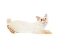 Pięknego trakenu Mekong Bobtail kot Odizolowywał Białego tło Obraz Stock