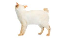 Pięknego trakenu Mekong Bobtail kot Odizolowywał Białego tło Fotografia Stock
