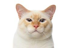 Pięknego trakenu Mekong Bobtail kot Odizolowywał Białego tło Zdjęcie Royalty Free