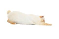 Pięknego trakenu Mekong Bobtail kot Odizolowywał Białego tło Obrazy Stock
