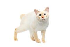 Pięknego trakenu Mekong Bobtail kot Odizolowywał Białego tło Zdjęcia Stock