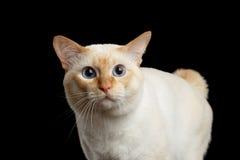 Pięknego trakenu Mekong Bobtail kot Odizolowywał Czarnego tło Obraz Royalty Free