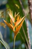 Pięknego tropikalnego żółtego kwiatu niezwykła forma flory Fotografia Stock