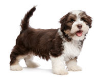 Pięknego uśmiechniętego chocholate szczeniaka havanese pies stoi Zdjęcie Stock