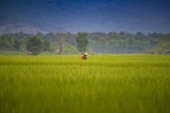 Pięknego widoku zieleni ryżowy sadzonkowy pole uprawne Zdjęcie Stock