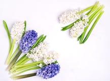 Pięknego wiosna kwiatu tła Błękitnej i Białej hiacyntu tła Odgórnego widoku Białej wiosny wakacje karty kopii Wielkanocna przestr Zdjęcia Stock