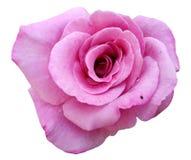 Pięknego zbliżenia okwitnięcia menchii pojedyncza róża odizolowywająca na bielu obraz stock