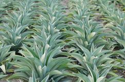 Pięknej agawy americana rośliny Zdjęcie Royalty Free