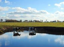 Pięknej krowy zwierzęcy pobliski chanel, Lithuania zdjęcia royalty free