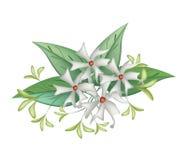 Pięknej nocy Kwitnący jaśmin na Białym tle ilustracja wektor