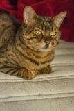 Pięknej pomarańcze pasiasty kot z zielonymi oczami Obraz Stock