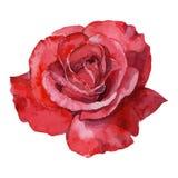 Pięknej różanej akwareli ręcznie malowany odosobniony na białym tle Obrazy Royalty Free
