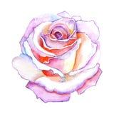Pięknej różanej akwareli ręcznie malowany odosobniony na białym tle Zdjęcie Royalty Free