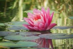 Pięknej różowej wodnej lelui lub lotosowego kwiatu Perris pomarańcze zmierzch zdjęcie stock