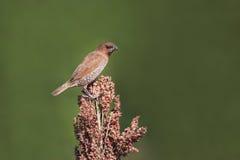 Pięknej samiec munia łaciasty ptak na uprawie zdjęcie stock