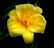 Pięknej stokrotki kwiatu Żółty zakończenie Zdjęcie Royalty Free