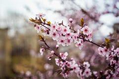 Pięknej wiosny kwitnący drzewo z mnóstwo kwiatami Zdjęcia Stock