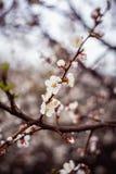 Pięknej wiosny kwitnący drzewo z mnóstwo kwiatami Obraz Stock