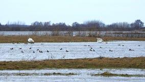 Piękni łabędź i kaczka unosi się na wodzie w powodzi polu, Lithuania zdjęcia royalty free