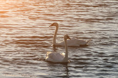 Piękni łabędź pływają na jeziorze podczas zmierzchu, bezpłatna przestrzeń Dwa Obraz Royalty Free