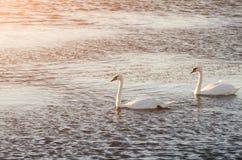 Piękni łabędź pływają na jeziorze podczas zmierzchu, bezpłatna przestrzeń Dwa Fotografia Stock