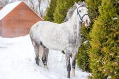 Piękni łaciaści szarzy koni stojaki blisko jodły Zdjęcie Royalty Free