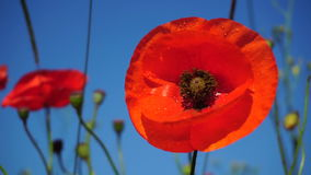 Piękni śródpolni czerwoni maczki z selekcyjną ostrością Opiumowy maczek Naturalni leki zbiory