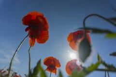 Piękni śródpolni czerwoni maczki z selekcyjną ostrością Opiumowy maczek Naturalni leki Fotografia Royalty Free