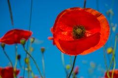 Piękni śródpolni czerwoni maczki z selekcyjną ostrością Opiumowy maczek Naturalni leki Zdjęcia Royalty Free