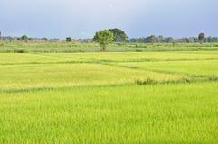 piękni śródpolni ryż Zdjęcie Royalty Free