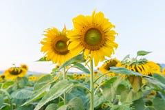 piękni śródpolni słoneczniki Zdjęcia Royalty Free