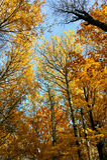 Piękni żółci drzewa w jesień lesie Zdjęcia Stock