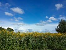 Piękni żółci Jerusalem karczocha kwiaty i niebieskie niebo Obraz Stock
