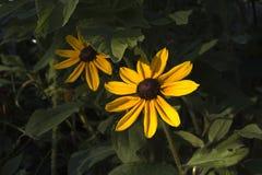 Piękni żółci meksykanów kwiaty Obrazy Stock