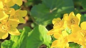 Piękni żółci wiosna kwiaty iluminujący ranku słońcem zbiory wideo