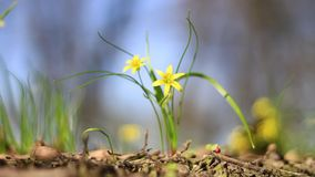 Piękni żółci wiosna kwiaty kiwają w wiatrze zbiory