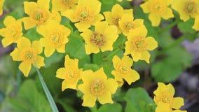 Piękni żółci wiosna kwiaty r w bagnie zdjęcie wideo