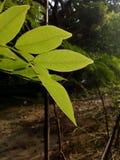 Piękni akacja liście w ranku świetle słonecznym zdjęcie stock