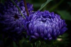 Piękni astery które mogą być Zdjęcie Stock